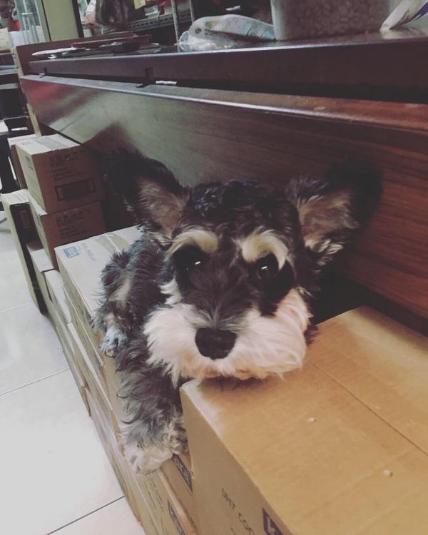 朋友家的雪納瑞 牠的名字叫:小熊❤️ #雪納瑞 #可愛 #狗 #犬 #可愛い
