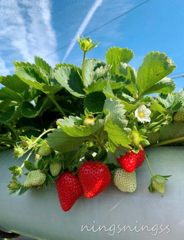 苗栗《必打卡草莓園》🍓只要冬天最期待的就是採草莓,很多人一定跟我一樣,是一種小時候的回憶😽 其實