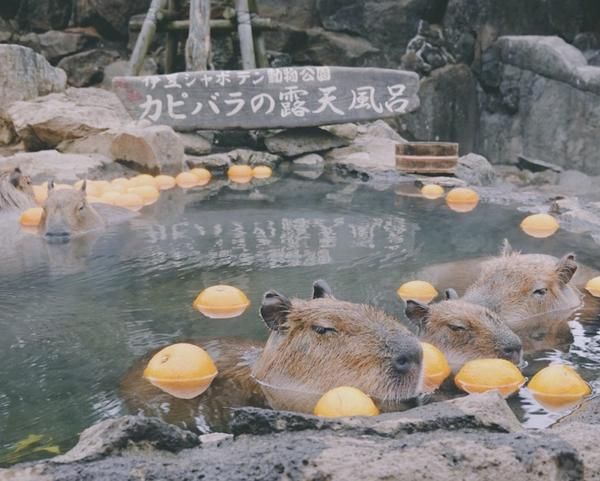 最可愛最療癒的動物園在伊豆日本最早飼養水豚的動物園-伊豆仙人掌動物園(伊豆シャボテン動物園) 第一次