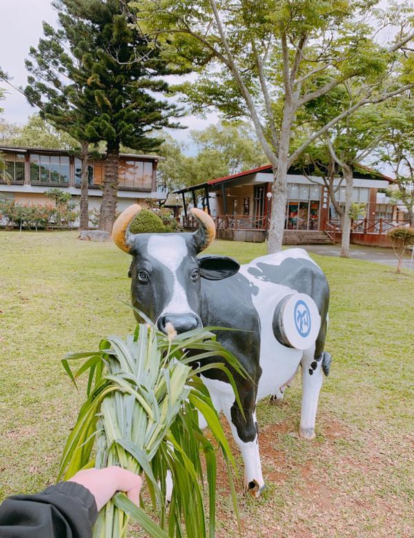 台東景點-初鹿牧場只看到退休老牛