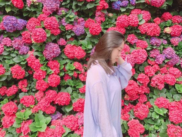 苗栗-花露農場又到了球球花的季節, 苗栗知名的花露農場, 除了好拍還有精油可以體驗, 愛拍美照或是本