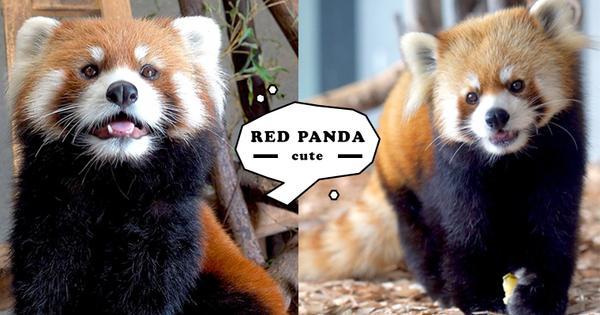 吃可愛長大!毛茸茸人氣明星「小熊貓」,今天也被牠的Q萌狙擊!
