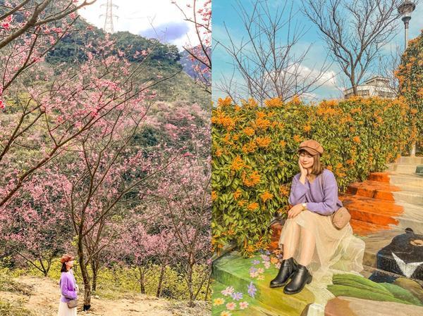 🇹🇼台灣新北🌸三峽櫻花森林🧨鶯歌炮仗花隧道🌸🌸🌸🌸🌸🌸又到了櫻花盛開的季節之前介