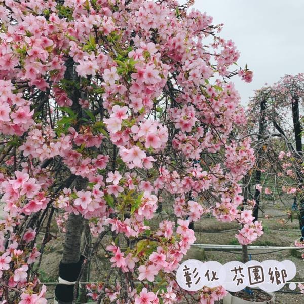 彰化📍芬園鄉櫻花盛開🌸也許吧,我會為了櫻花愛上冬天;就像愛他時,連缺點都看成優點一樣。 #櫻花#