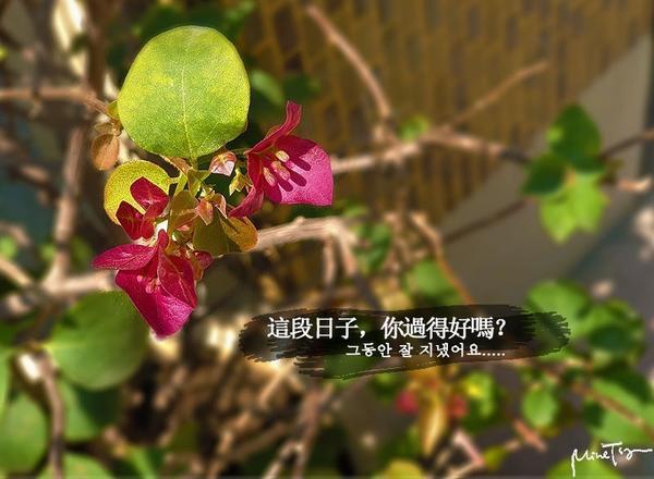 沒有我在身邊的你,這段時間,你一個人過得好嗎?天暖了,是個花開的季節,家裡的九重葛悄悄開花了....