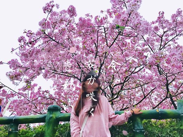 【台北景點】櫻花🌸照怎麼拍都拍不膩~3月賞櫻去📍台北淡水—天元宮  目前花況30%~70%(想知