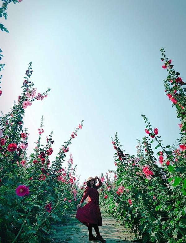 期間限定!學甲蜀葵花季,台南好拍美景,花園迷宮怎麼拍都美美der~天氣超好的,建議早點出門可以避開多