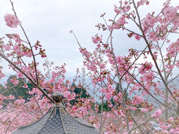 「桃園賞櫻」2020恩愛農場櫻花季。最新花況、交通資訊,滿滿的櫻花怎麼拍都美麗拉拉山的恩愛農場一直都