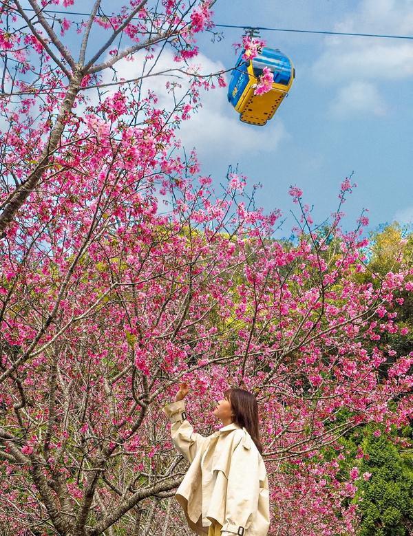 櫻花加上有日月潭纜車的搭配太日系了!🚠+🌸 日系夢幻組合在台灣就可取景喔! 富士櫻正茂盛中真的美