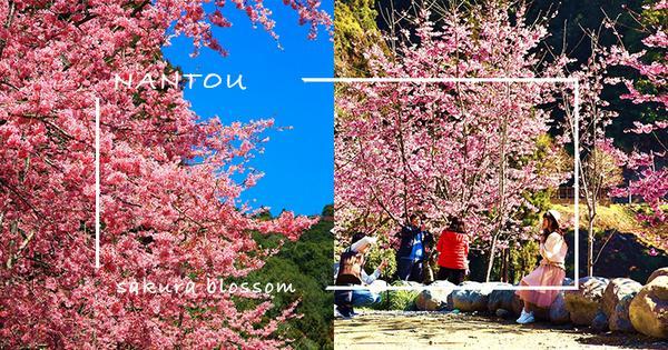 【南投】週末賞櫻!杉林溪粉紅「椿寒櫻」滿山滿谷大爆發,加碼螢火蟲免費導覽,漫步山林呼吸芬多精,這個行
