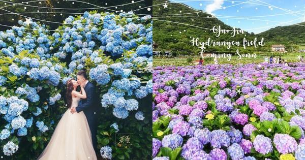 【波波快訊】高家繡球花即將開放第三園區,佔地8000坪,一起來當花仙子吧說到賞繡球花絕對會想到陽明山