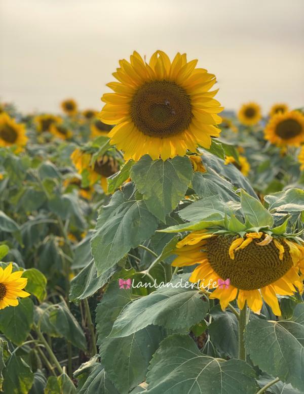 向日葵大盛開🌻趕快衝一波- 天啊!特地為了整片的向日葵來 向日葵有種魔力~~~ 讓人看了會很