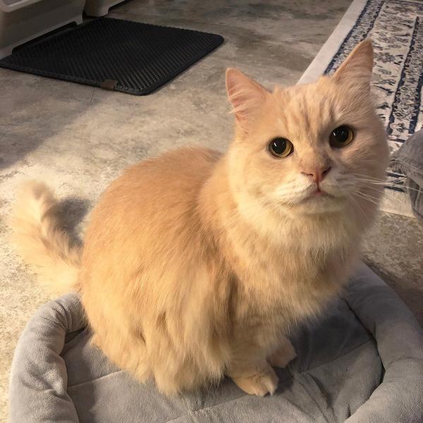 貓咪洗澡的救星!終於不用再煩惱了QQ「阿部」是一隻將近13歲的老貓咪🐱現在定居在宜蘭。
