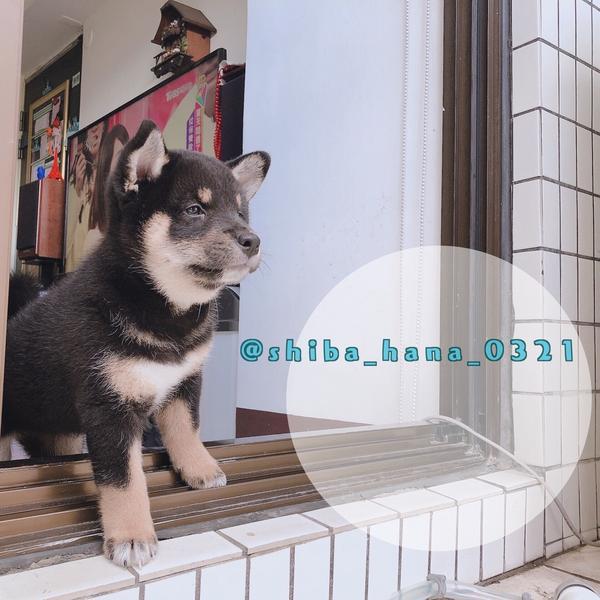 【柴犬DAY50】Mina還是不能出去散步由於目前是住大樓的關係 沒有陽光草地小庭院能夠讓Mina玩