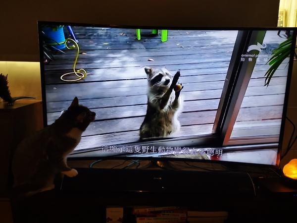 毛毛相惜喵與電視中的動物隔著螢幕對望XD  好奇心 傻鼠喵