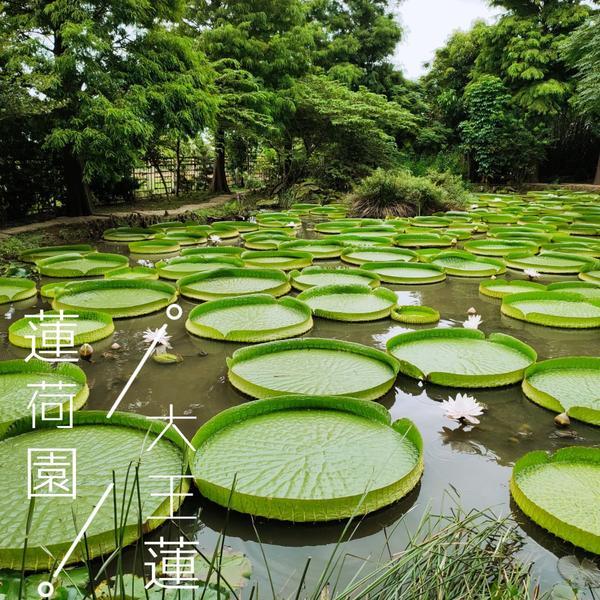 從桃園一路玩回台北🛣️(64號快速道路篇)🚩第二站-蓮荷園🌺體驗乘坐大王蓮  就在第一站🌻向