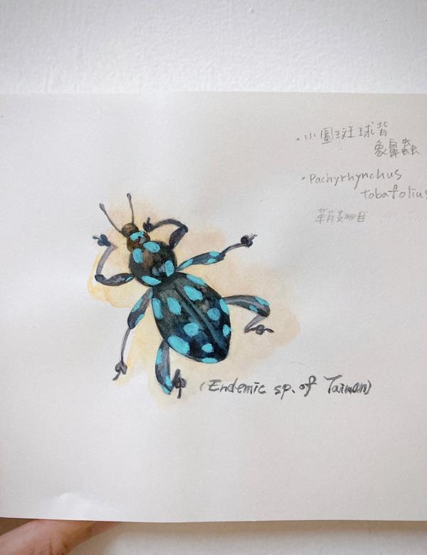 台灣特有種小圓斑背象鼻蟲  浪漫主義的配色  #插畫 #水彩 #象鼻蟲 #台灣特有