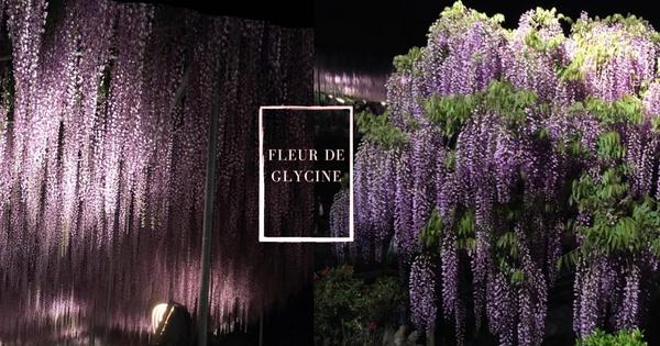 【花系列】夢幻紫藤~日本最美景點之一!為了看她讓我差點睡路邊!賞花景點:足利花卉公園想當初為了要到足