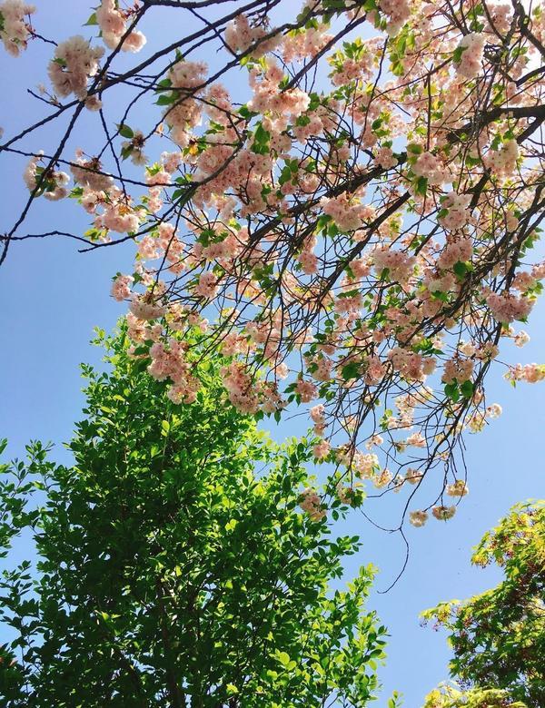 在不是櫻花季時想念櫻花 別所溫泉北向觀音祈願之行別所溫泉送給人們的伴手禮就是前往北向觀音祈願賜予人們