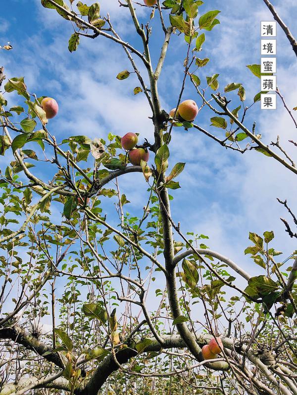 11月中正是清 境 蜜 蘋 果的採收季節清 境 蜜 蘋 果