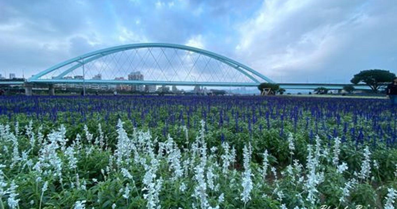 彩虹河濱花海~粉萼鼠尾草及天使花交織成迷人紫白花海花